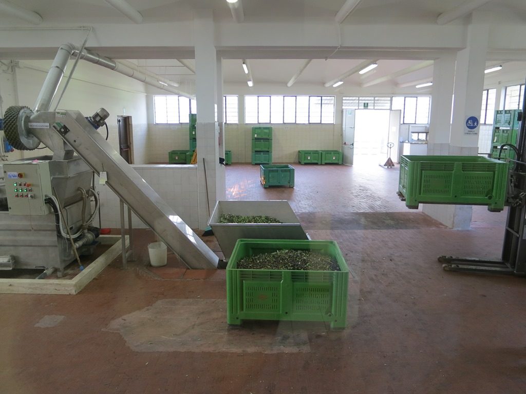 olives being loaded into the press
